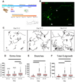 Maturation of Spinal Motor Neurons Derived from Human Embryonic Stem Cells