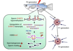 Hypoxia causes epigenetic changes and transgenerational reproductive impairments