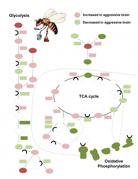 Metabolic State of the Aggressive Bee Brain