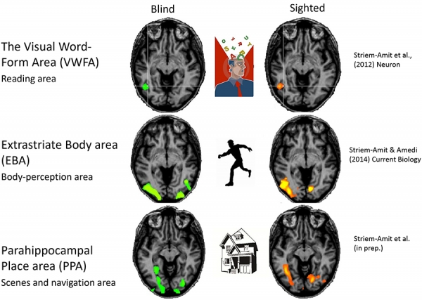 visual cortex activations in the blind