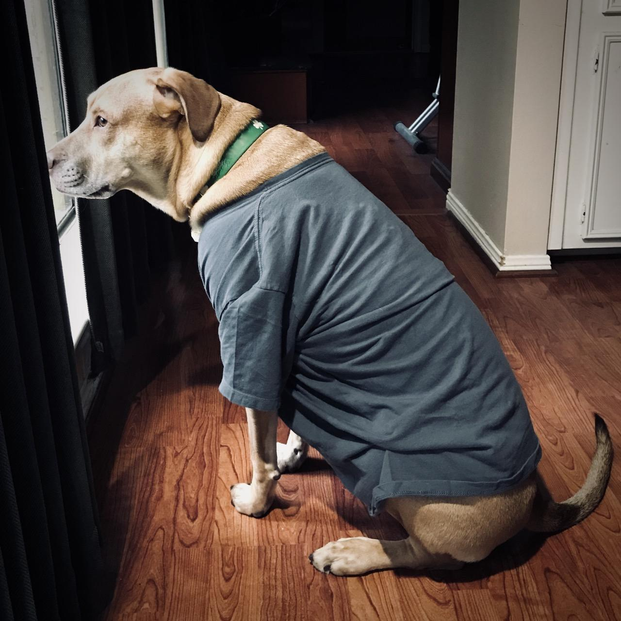 Murphy in a Thunder Shirt Looks Out the Window